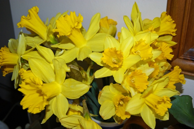 I love the brightest yellow daffodils best with their large, vulgar trumpets!