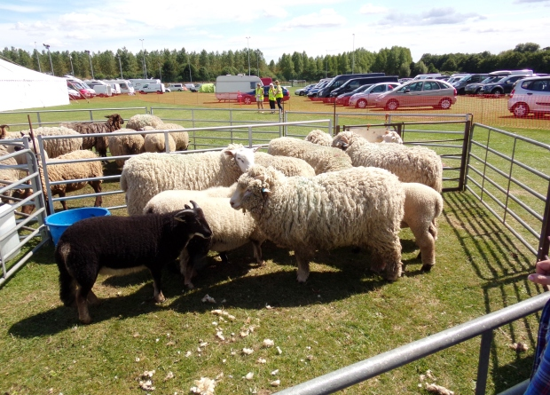 They brought plenty of spare sheep!